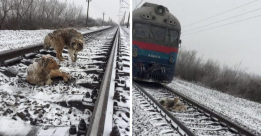 Cover Perro protege a su compañera herida antes de que un tren les pase por encima.
