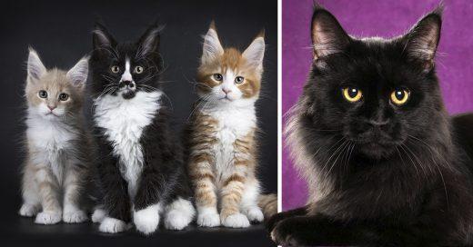 Cover Adorables gatitos Maine Coon que son gigantes esperando a crecer