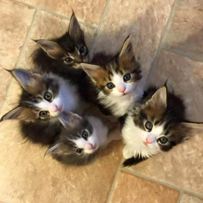 gatos adorables maine coon
