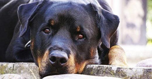Cover Un perro rottweiler cuidó toda la noche a un bebé abandonado y salvó su vida