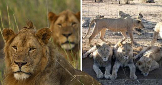 COVER Crían leones en granjas para que cazadores puedan matarlos