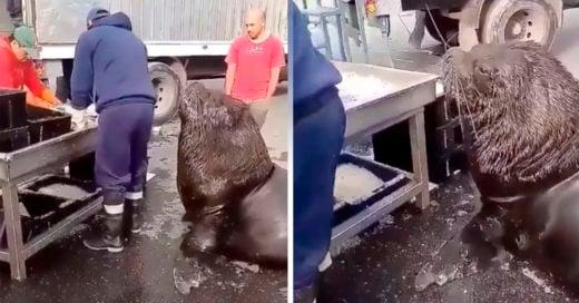 COVER Enorme león marino pide MUY EDUCADO un poco de pescado en el mercado