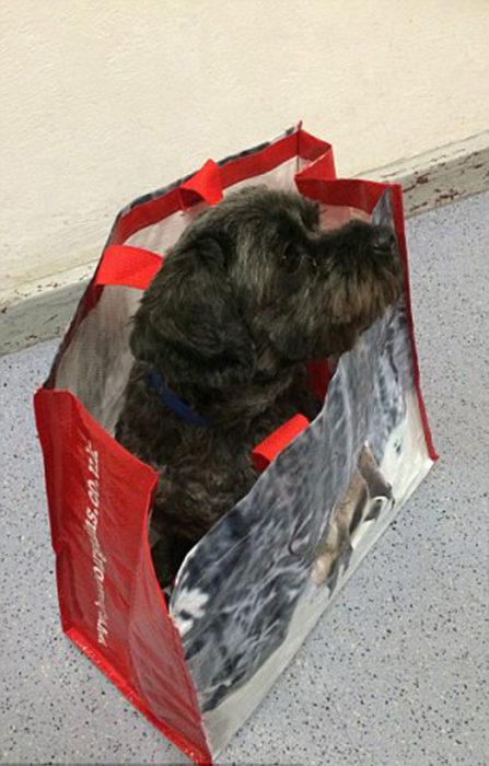 Perrito Teddy en una bolsa de plástico