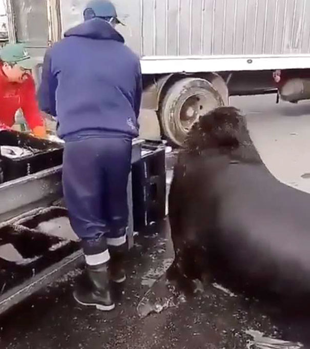 León marino gigante espera su comida