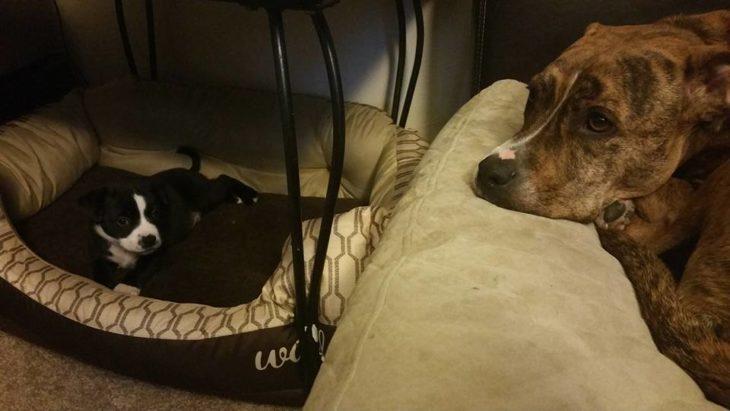 dos pitbulls