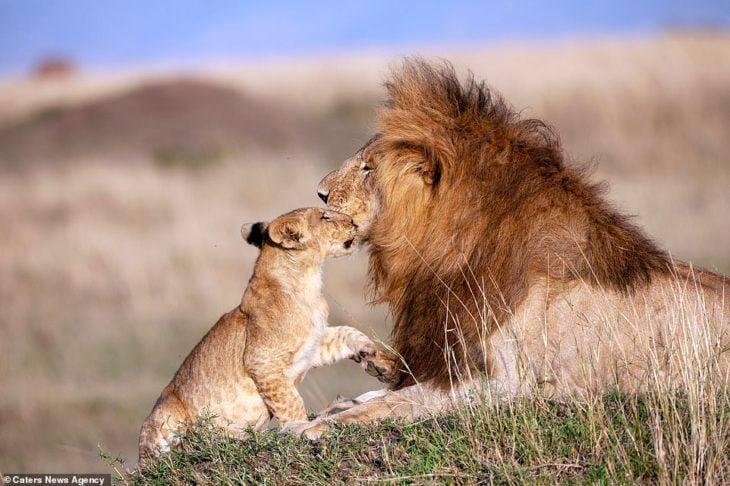 cachorro y león macho