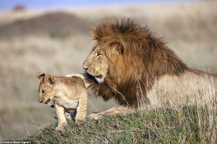 papá león y cachorro león jugando