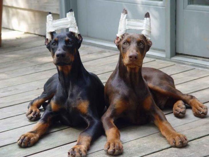 En colombia ya es delito cortar las orejas de los perros