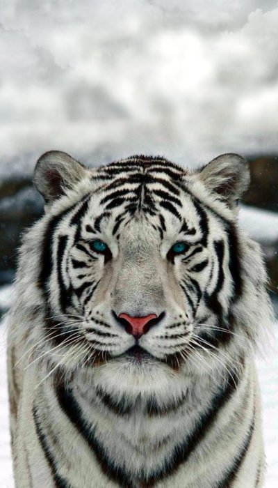 Tigre albino fondo de pantalla