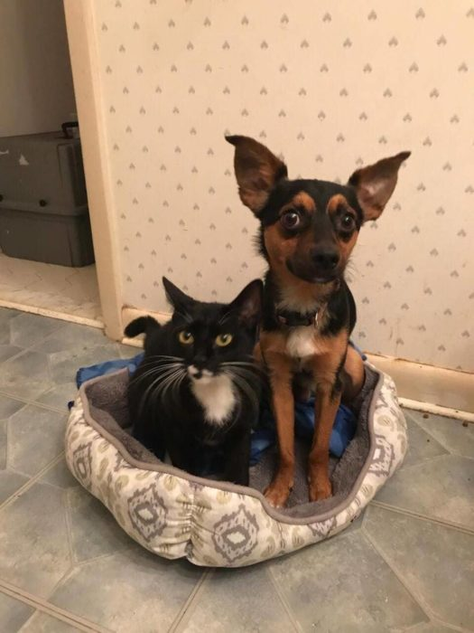 chihuahua y gatito