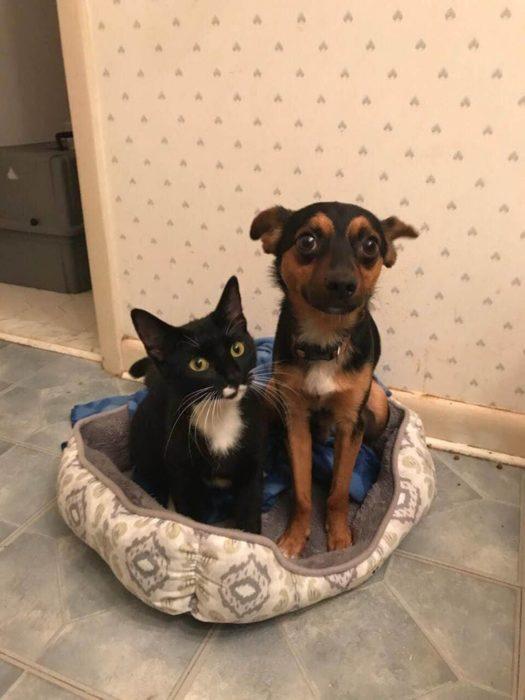 gato y perro chihuahua