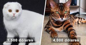 Los 17 gatos MÁS CAROS del mundo