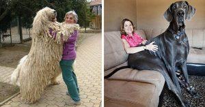 Estos 21 Perros No Se Han Dado Cuenta de Lo GRANDES Que Son