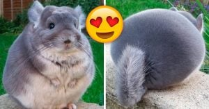 ¿Conoces a las chinchillas? Son tan esponjosas y tiernas que no parecen reales