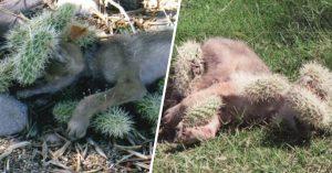 Mujer salva a un coyote bebé de morir; su cuerpo estaba lleno de espinas