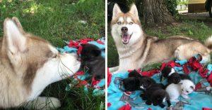 Perrita husky encuentra a gatitos recién nacidos en medio del bosque y los adopta