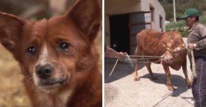 Perrito fue separado de la vaca que lo adoptó y llora desesperado