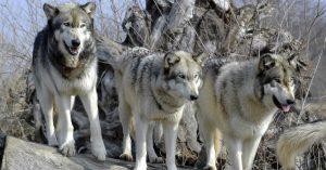 El Parque de Cabárceno en España mata a una manada de lobos a balazos