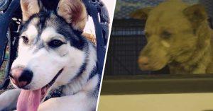 Familia perdió a husky en incendio y lo encontraron gracias a las noticias