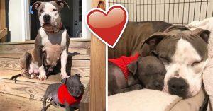 Pitbull que perdió a sus bebés adopta una cachorra huérfana