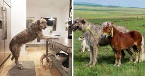 15 Perros loberos irlandeses que no están conscientes de su GRAN tamaño
