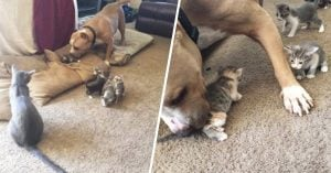Pitbull cuida a gatitos recién nacidos como si fueran sus propios hijos