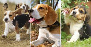 20 Razones adorables para tener un perro Beagle en tu vida