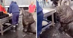 Enorme león marino pide MUY EDUCADO un poco de pescado en el mercado