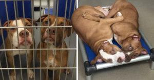 Hermanos pit bull sin hogar lloran cada vez que los separan