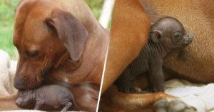 Perra adopta a cerdito huérfano; lo cuida y amamanta como a uno de sus cachorros
